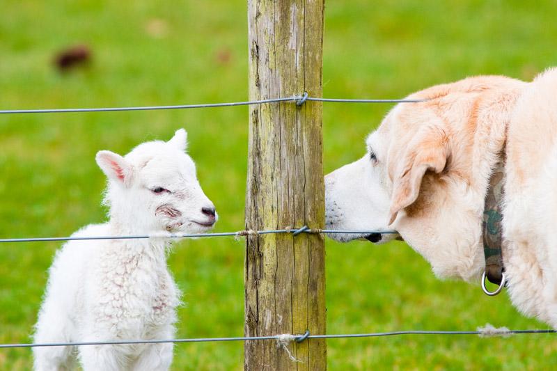 """Lam med fødselsmerke """"hilser"""" på en labrador. Illfoto: shutterstock.com"""