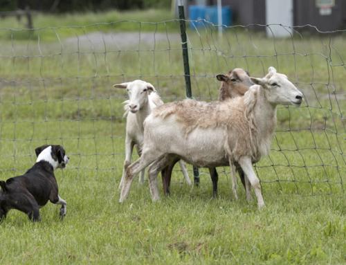 Båndtvang, hund og sau